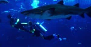 Paul Bierman Lytle Shark Swim